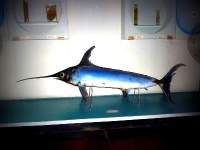 рыба меч черное море