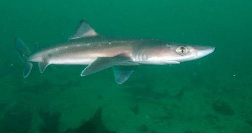 акула катран фото