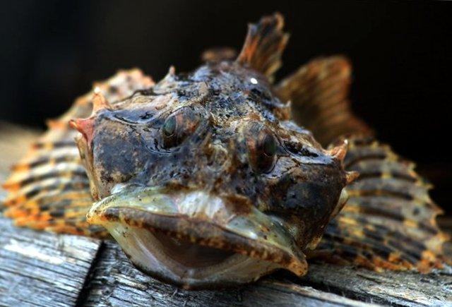 морской черт рыба