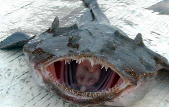 морской черт рыба фото