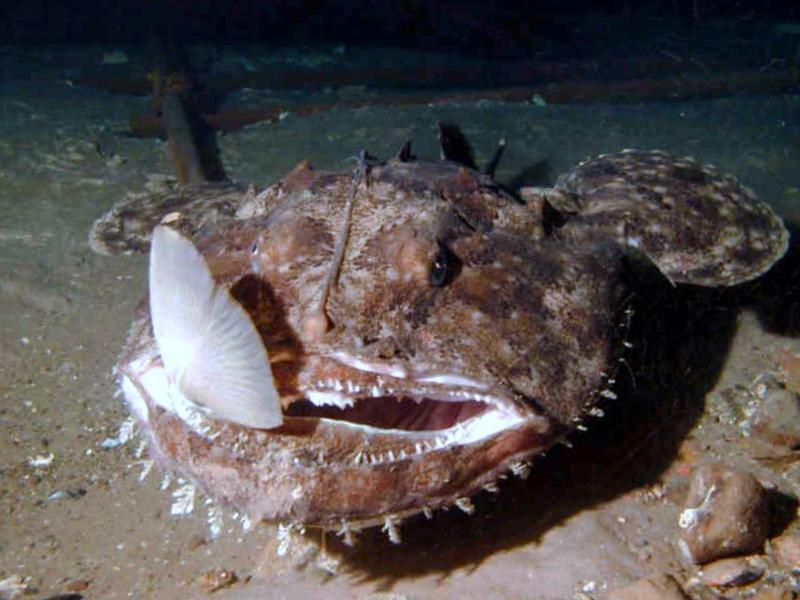удильщик рыба рецепты и фото