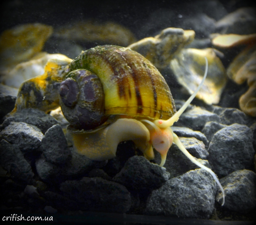 улитка в аквариум
