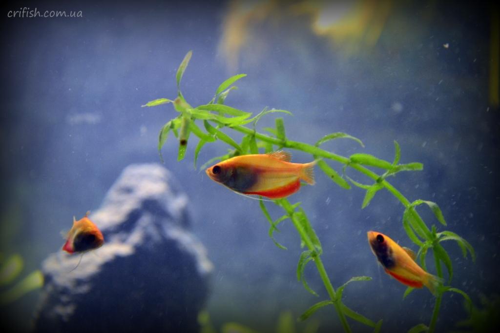 гурами в аквариуме