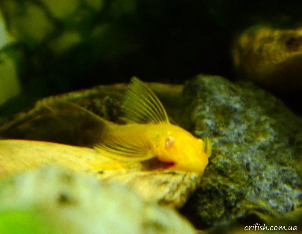 анциструс-альбинос