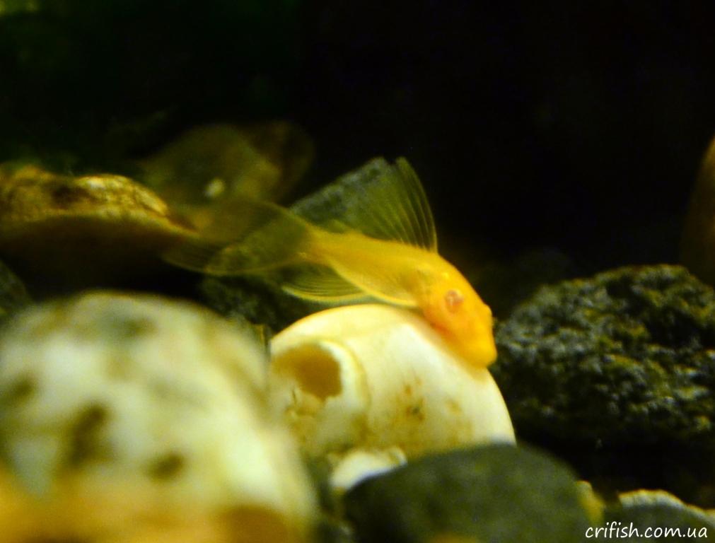 анциструс-альбинос фото