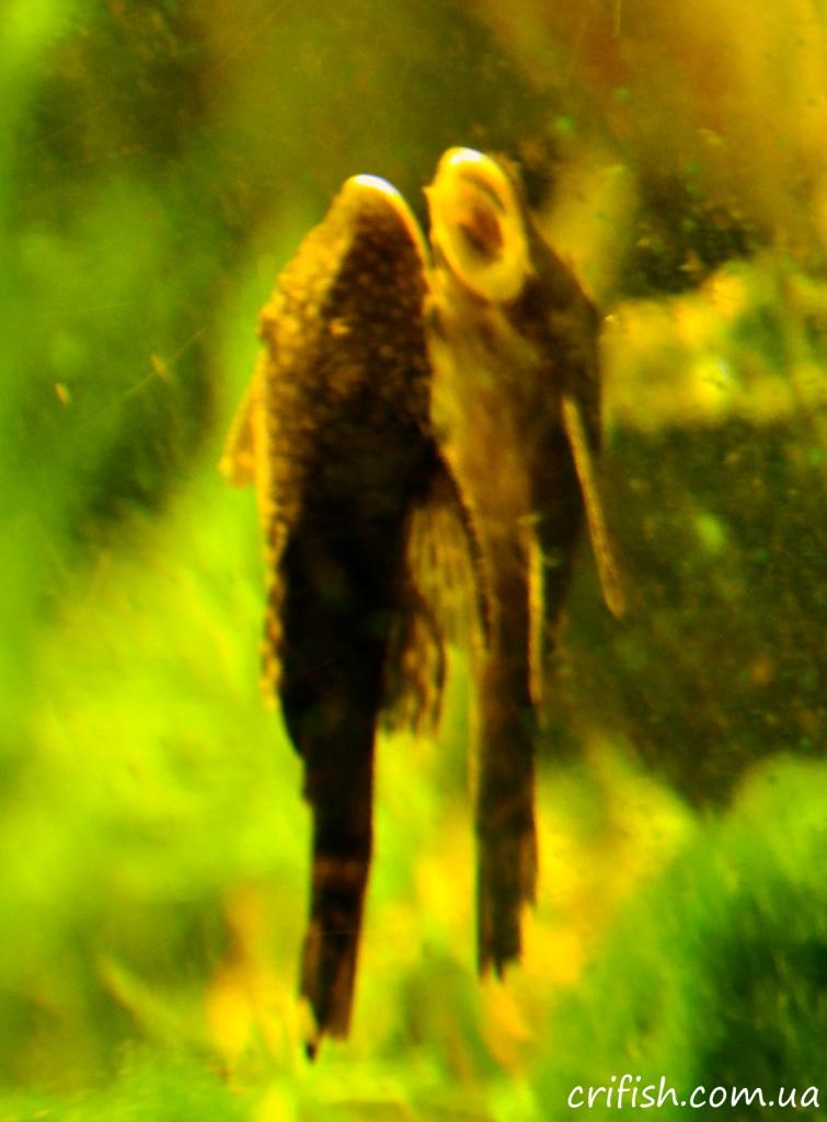 анциструс в аквариуме