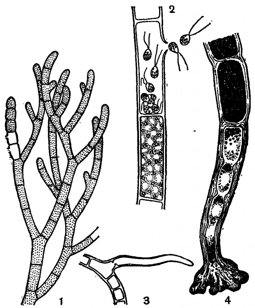 Строение кладофоры