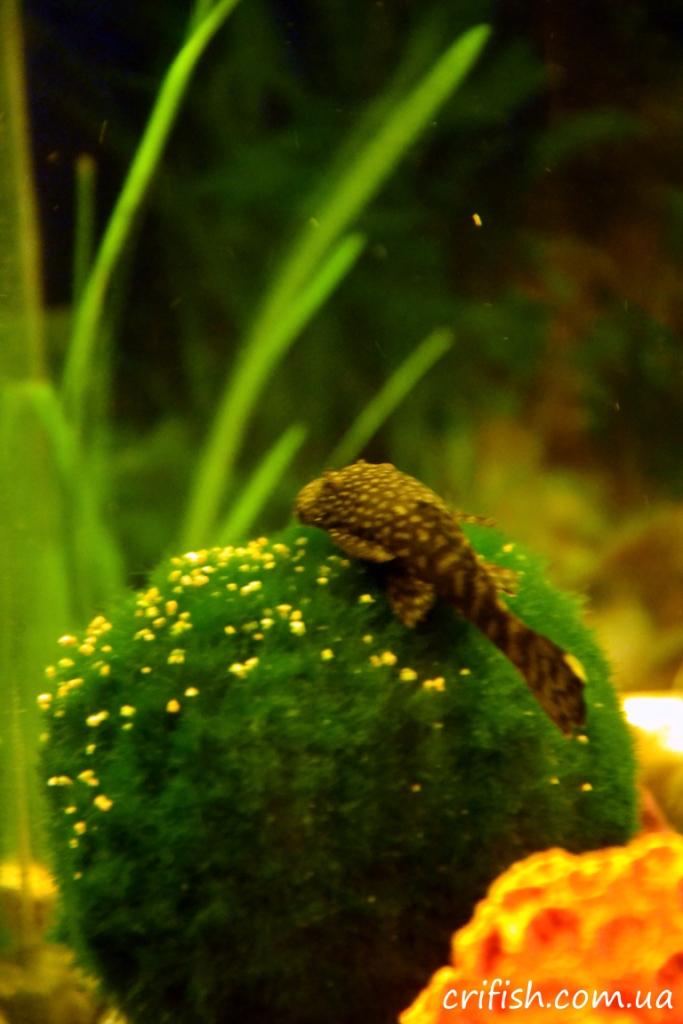 Кладофора в аквариуме с анциструсом