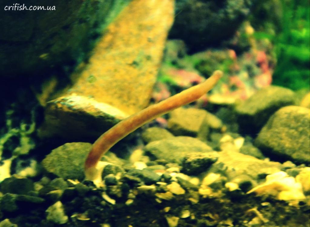 коричневый червь в аквариуме