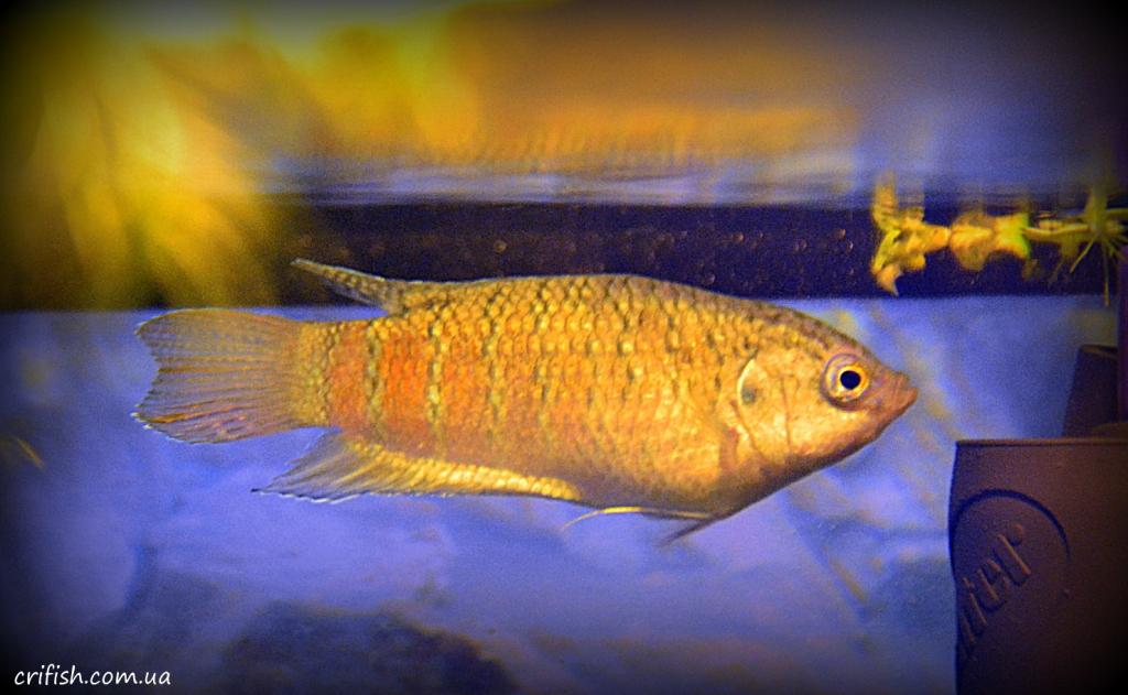 рыба макропод