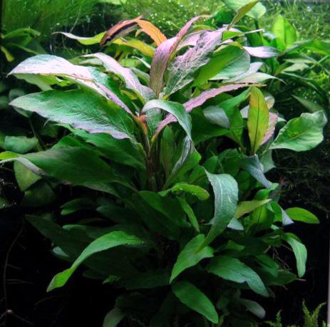 Гигрофила щитовидная разнов. «сиамская» (Hygrophila corymbosa «siamensis»). Другие названия: Гигрофила сиамская (Hygrophila siamensis).