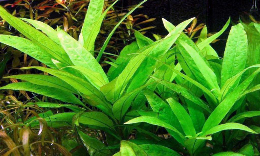 Гигрофила гвианская (Hygrophila guianensis)
