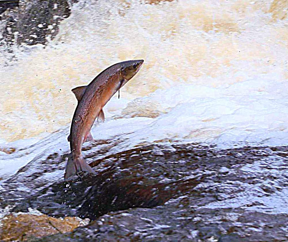 лосось фото в воде