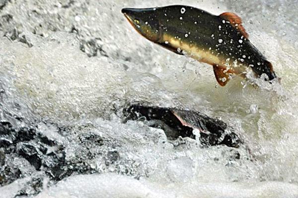 Атлантический лосось (сёмга).