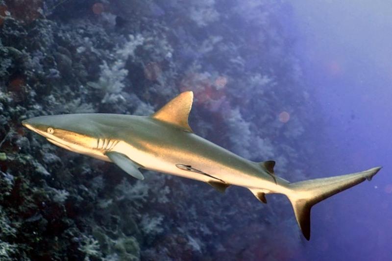 Серая рифовая акула, Carcharhinus amblyrhychos