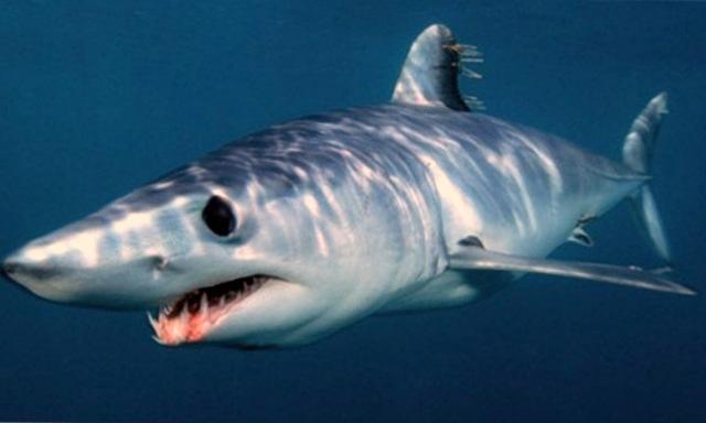 акула Мако (Isurus oxyrhinchus)