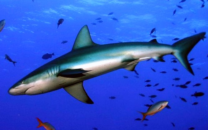 акула фото