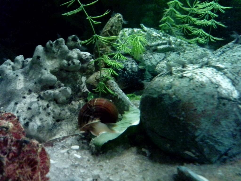улитка ест одуванчик в аквариуме