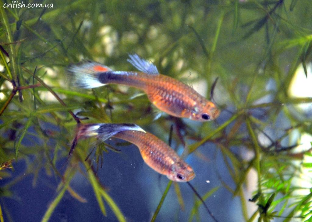 гуппи аквариумные фото