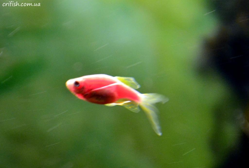 данио рыбки фото