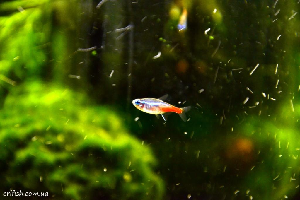 неоны рыбки фото