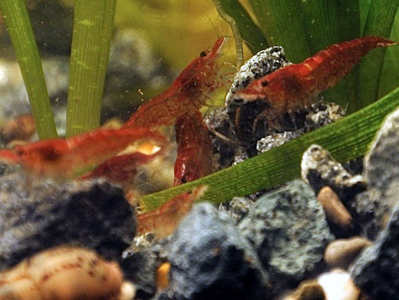 аквариумные креветки фото