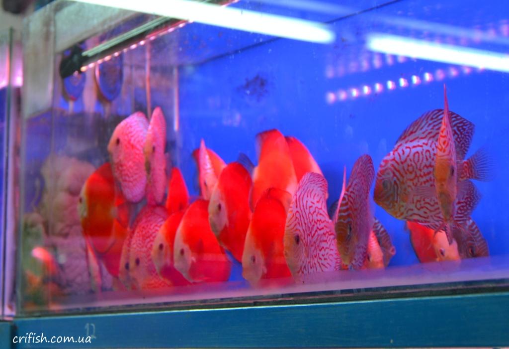 аквариумные рыбки в Ханое (Вьетнам) фото